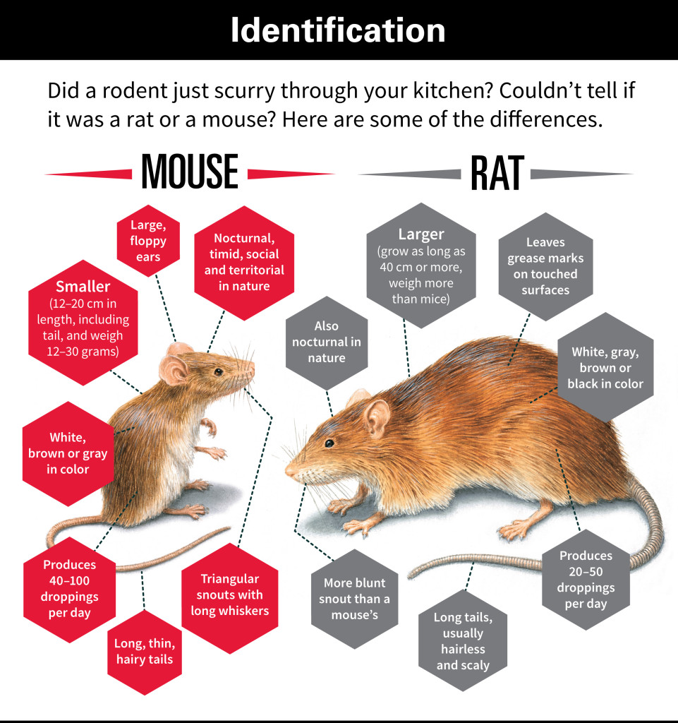 identifying rats control manchester